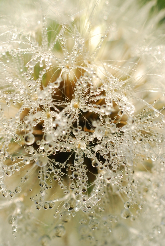 dandelion-with-dew-1362270