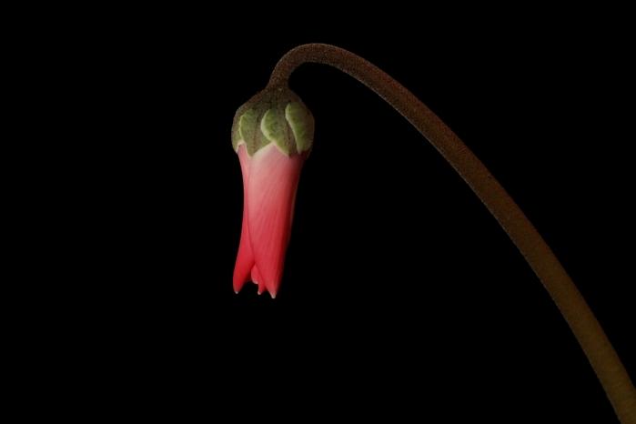 cyclamen-persicum-1361216
