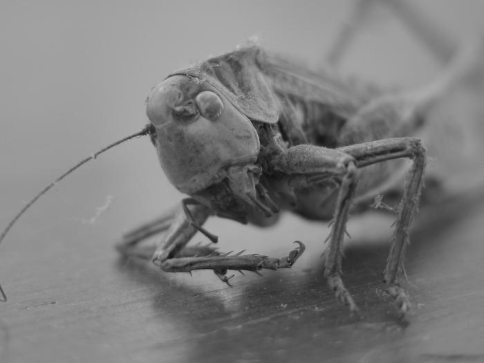 grasshopper-1527351