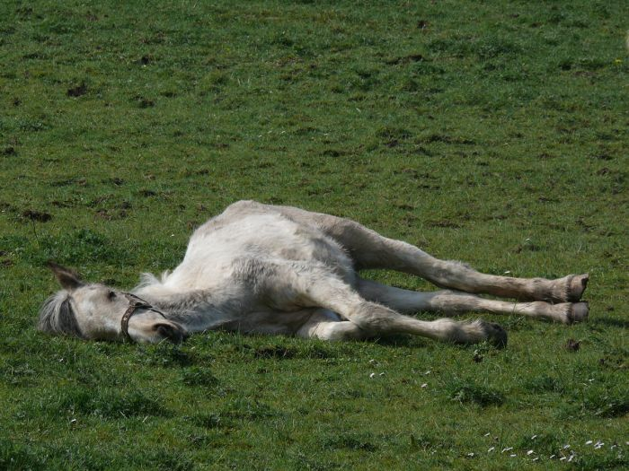 Image Description: A light gray horse lying on its side in grass.