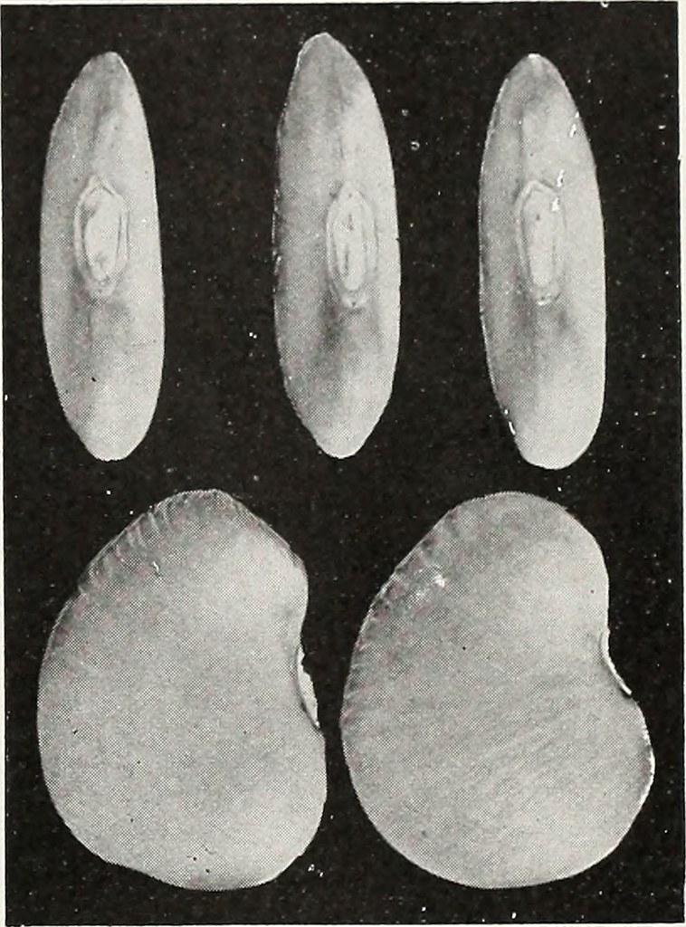 Image Description: A black and white image of five lima beans. The top row shows the top edge of three beans. The bottom row shows the sides of two beans.