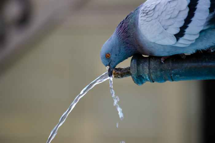 Image Description: A pigeon drinks water from a fountain.