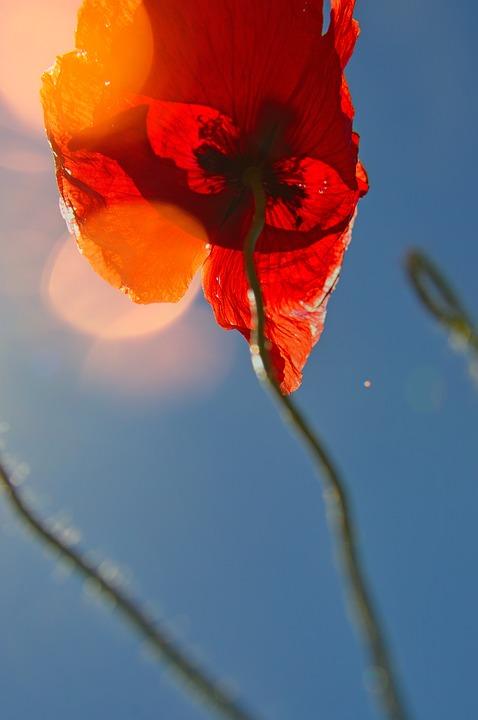Image Description: A dreamy image of a red poppy against a blue sky.