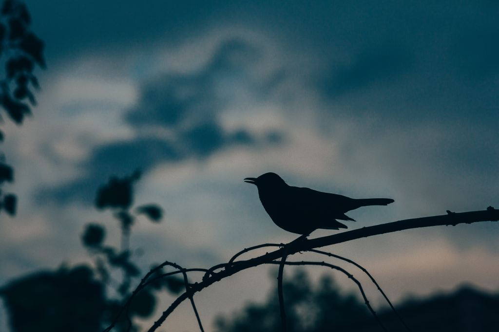 Photo of a silhouette of black bird on branch against a dusky sky