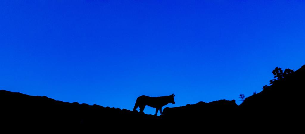 Descriptive image of a wild dog's silhouette.